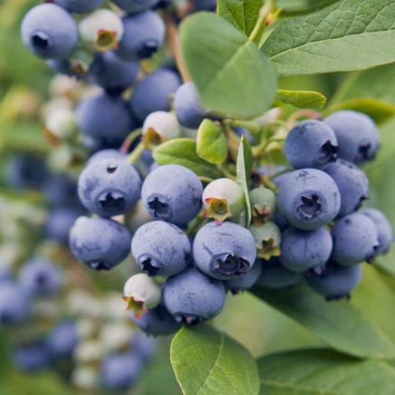 Blueberry (Vaccinium) Spartan 3L Pot x 1