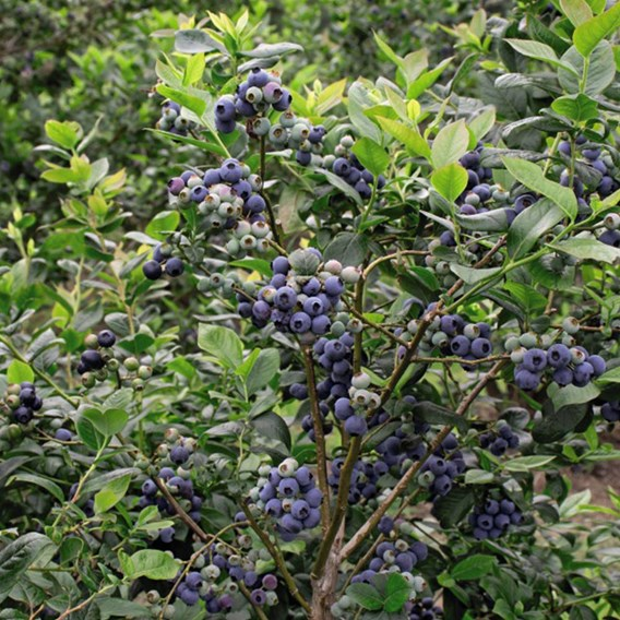 Blueberry (Vaccinium) Darrow 3L Pot x 1
