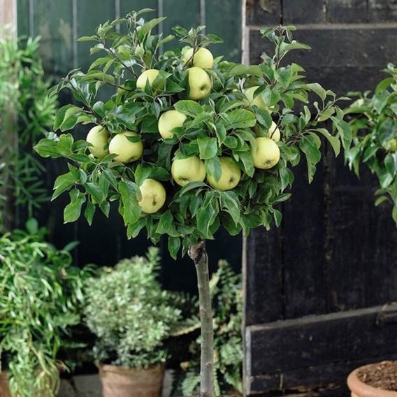 Apple (Malus) Golden Delicious (M26) 12L Pot x 1