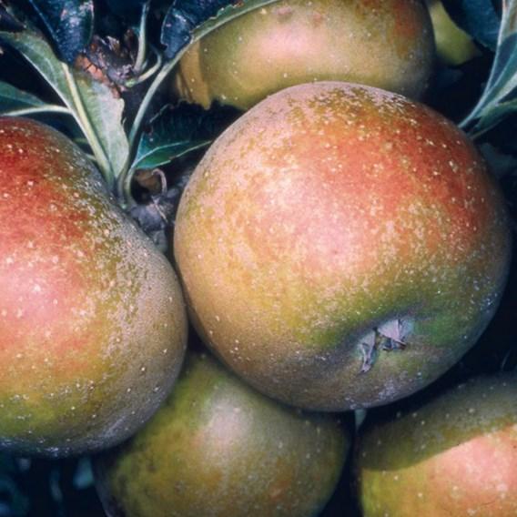 Apple (Malus) Egremont Russet (MM106) 12L Pot x 1