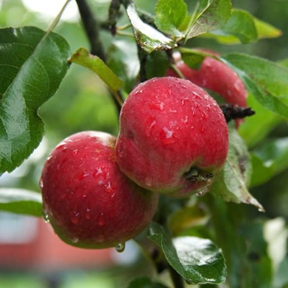 Apple (Malus) Worcester Pearmain (M27) 11.5L Pot x 1