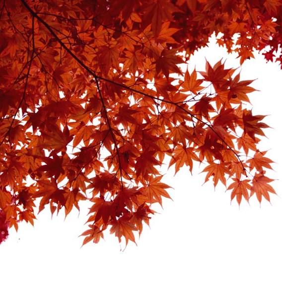 Acer Japanese Jewel palmatum Taylor 3 litre Pot x