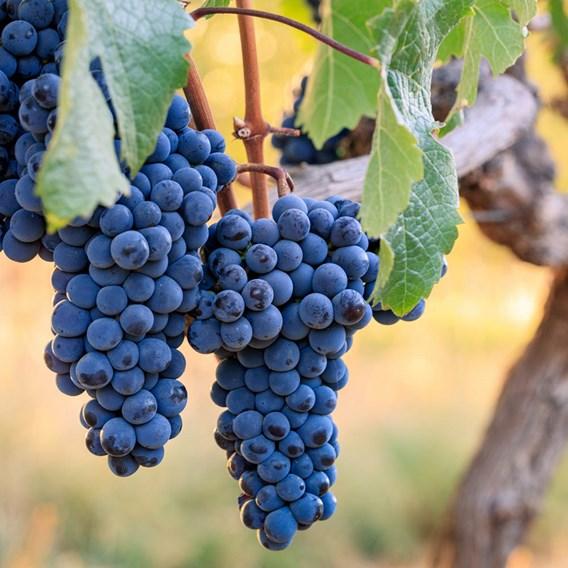 Grape (Vitis) Cabernet Franc 3L Pot x 1