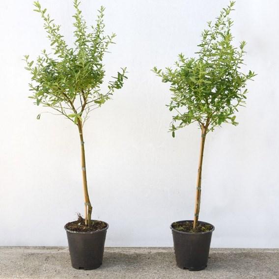 Ceanothus (Standard) 50cm Stem 3 Litre Pot x 1