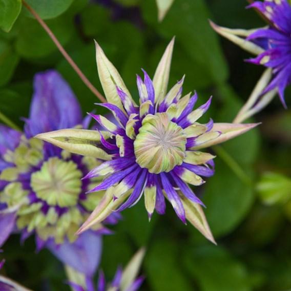 Clematis Plants - Florida Taiga