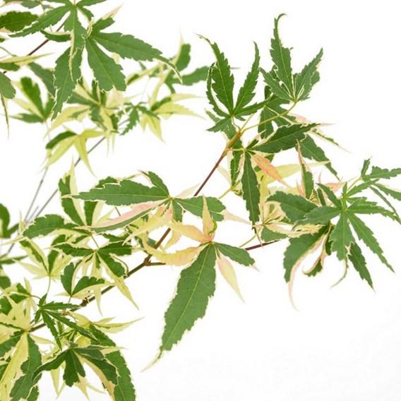 Acer Palmatum Beni-Shichi-Henge