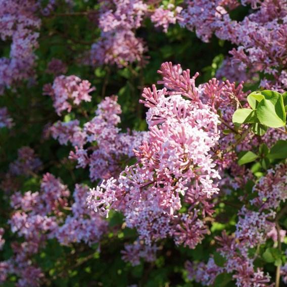 Lilac (Syringa) Bloomerang Pink Perfume 13cm Pot x 1
