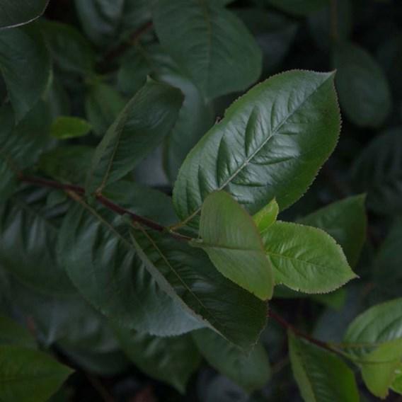 Aronia Prunifolia Aron