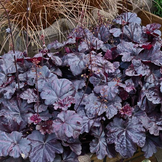 Heuchera Obsidian Plants