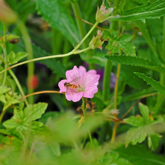 Geranium oxonianum Wargrave Pink