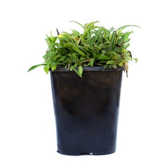 Campanula persicifolia Telham Beauty