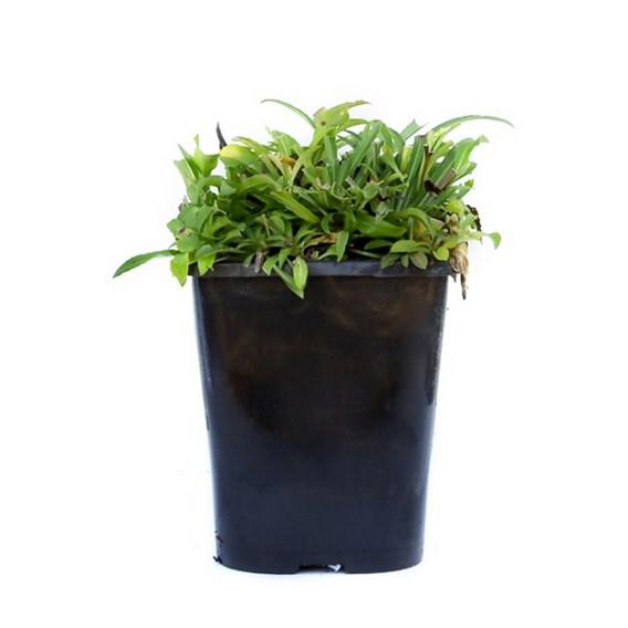 Campanula persicifolia Caerulea