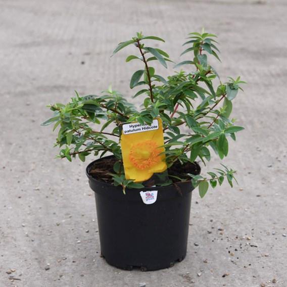 Hypericum Hidcote 3 Litre Pot x 1