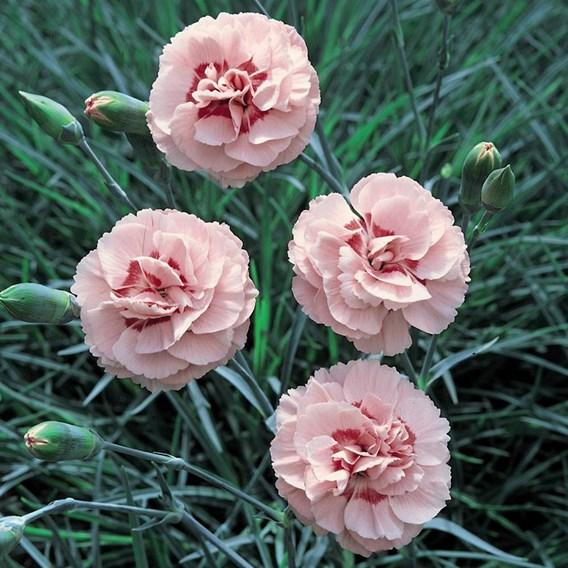 Dianthus Plant - Doris