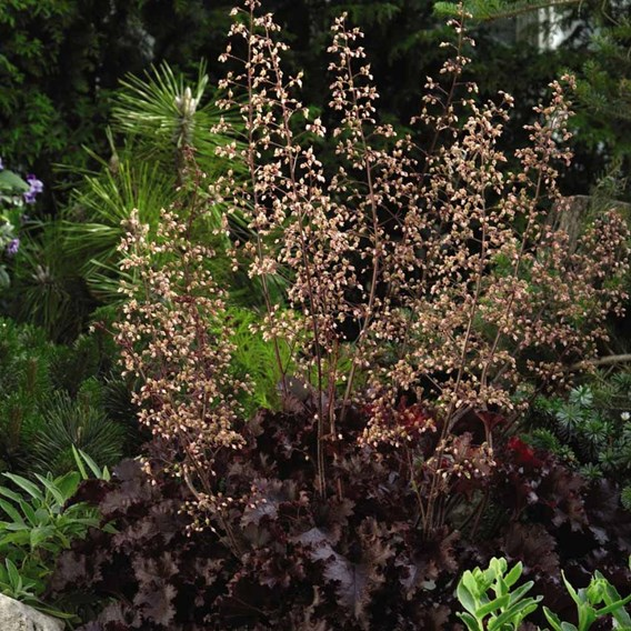 Heuchera Plant - Melting Fire