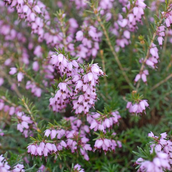 Erica (Heather) Plant - Darley Dale