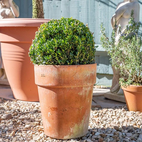 Buxus Sempervivum Ball