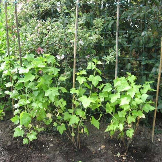 Blackcurrant (Ribes) Ebony 3L Pot x 1