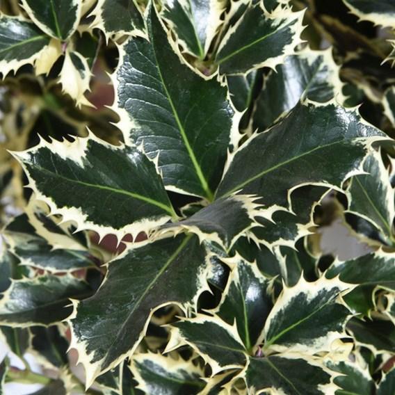 Ilex (Holly) Argentea Marginata Standard 3 Litre P