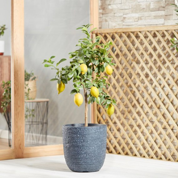 Citrus Tree - Lemon Eureka