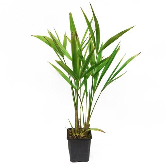 Trachycarpus fortunei - 24cm