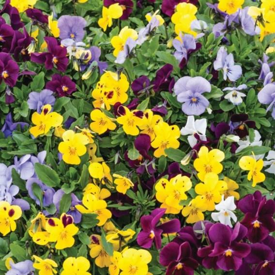 Viola Plants - Autumn Jewels Mixed