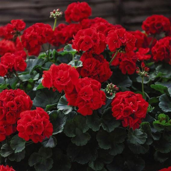 Geranium Best Red