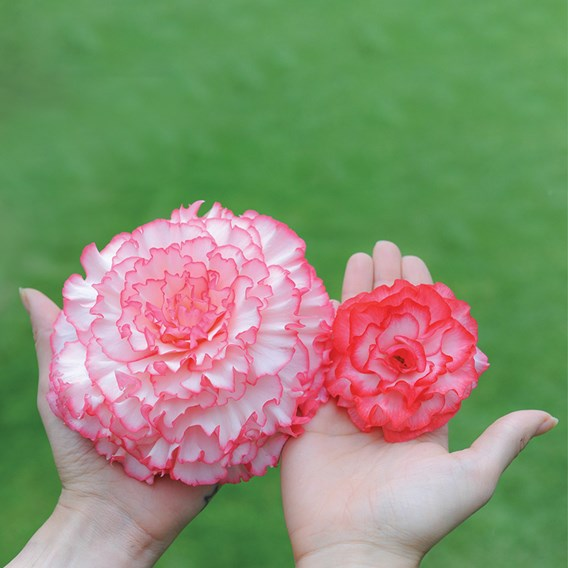 Begonia Prima Donna Tubers - Blush
