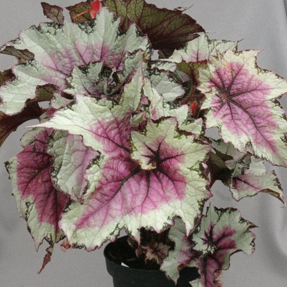 Begonia Pink Twist