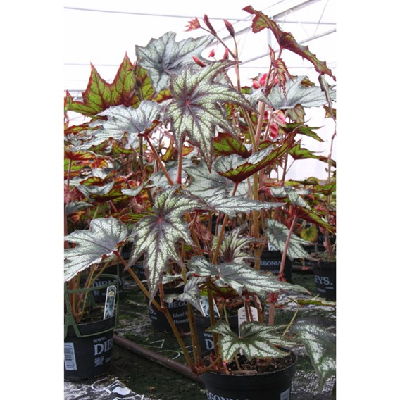 Begonia Little Brother Montgomery`