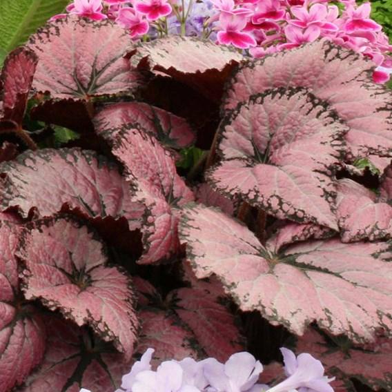 Begonia Pink Champagne`