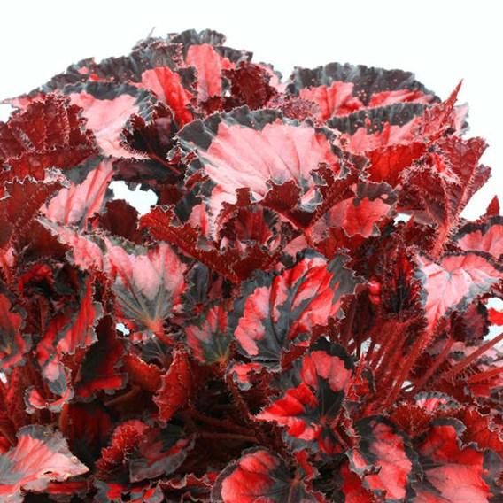 Begonia Red Robin