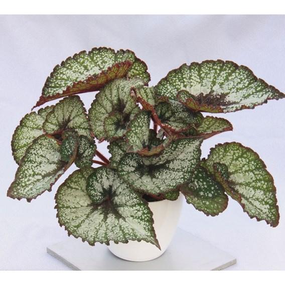 Begonia Rocheart