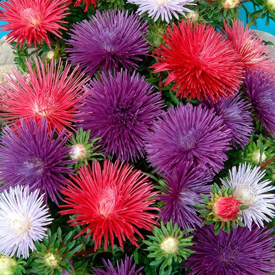 Aster Plants - Starlight Mix