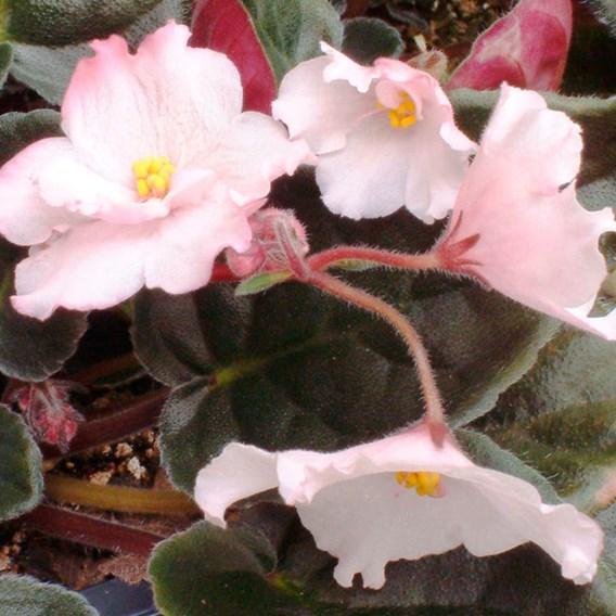 Saintpaulia Plant - The Madam