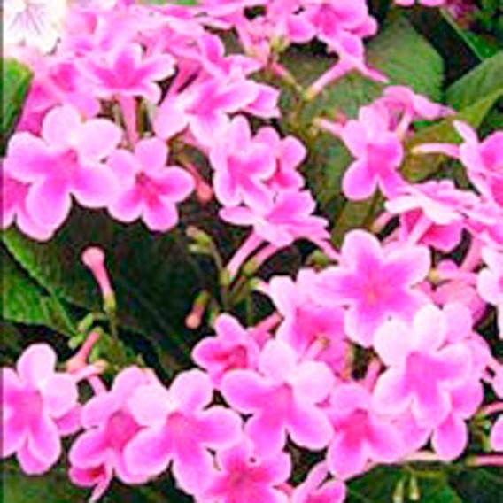 Streptocarpus Tina