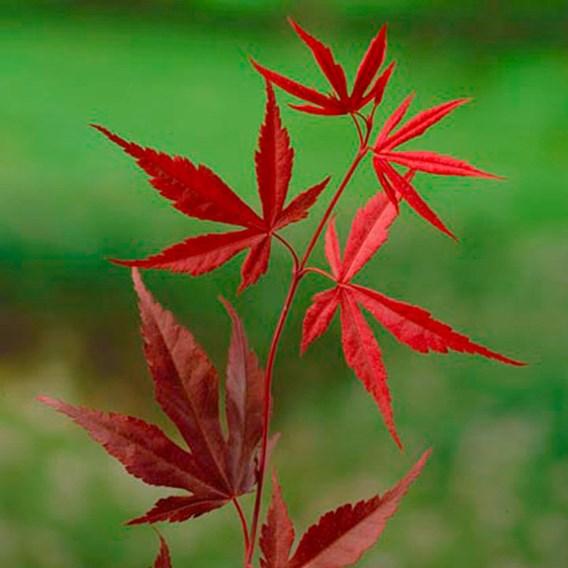 Acer Palmatum Plant - Bloodgood