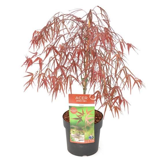Acer Palmatum Plant - Enkan