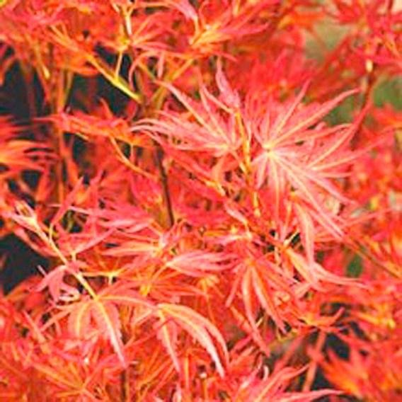 Acer palmatum - Wilsons Pink Dwarf