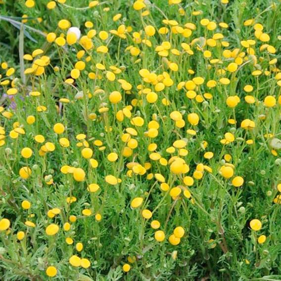 Cotula coronopifolia Plant