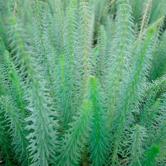 Hippuris vulgaris Plant