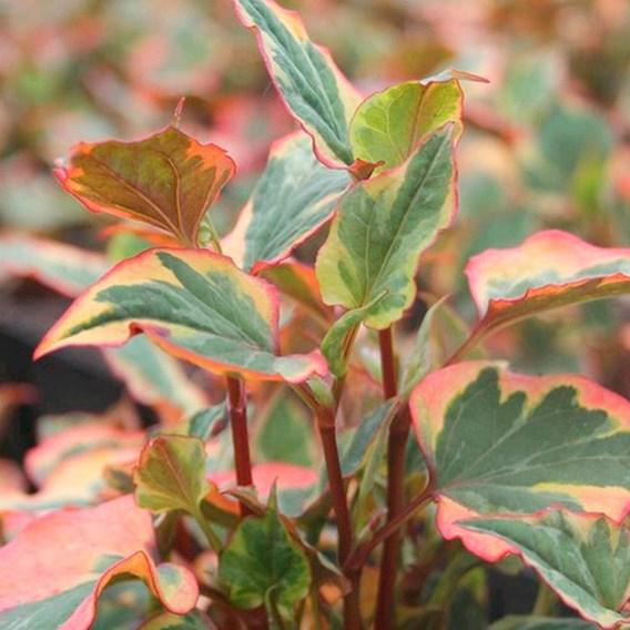 Houttuynia cordata Plant - Chameleon