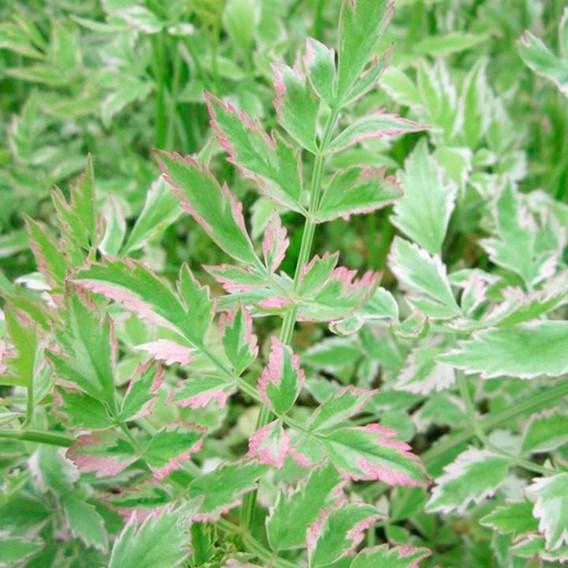 Oenanthe javanica Plant - Flamingo