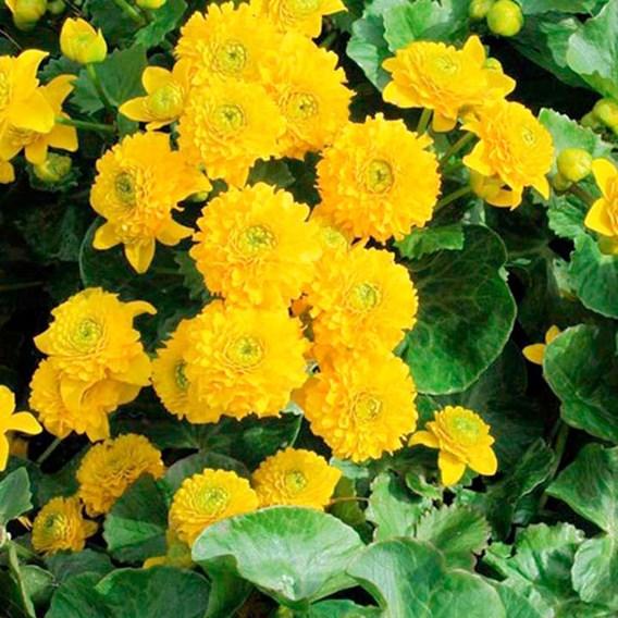 Caltha Plant - Palustris Plena
