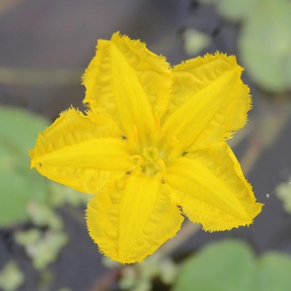 Nymphoides Peltata (1)