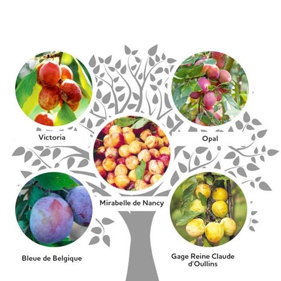 Gourmet Fruit Tree - Plum