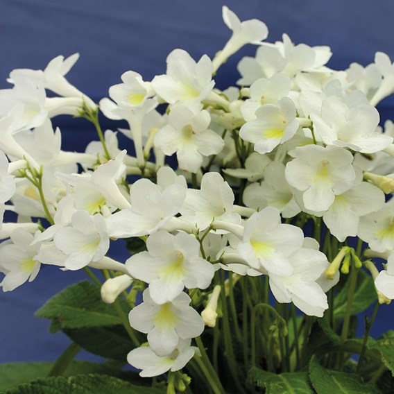 Streptocarpus Pearl