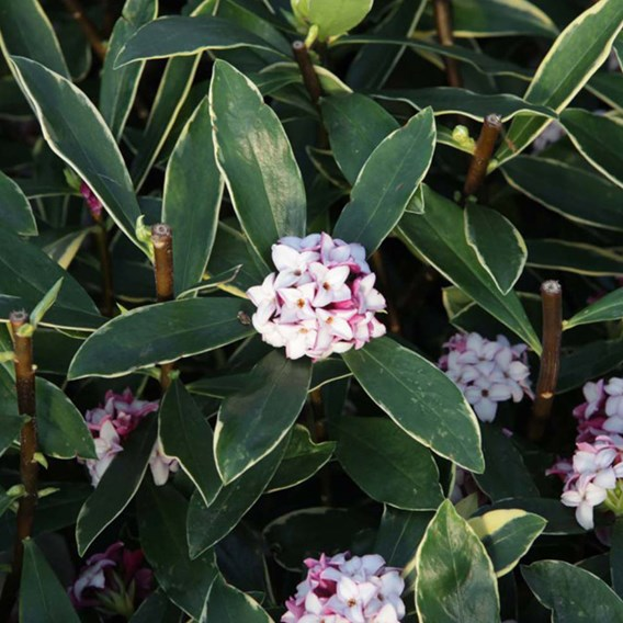 Daphne aurea marginata Plant 3 Litre Pot x 1