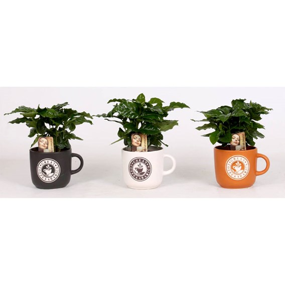 Coffee Plant in a Mug
