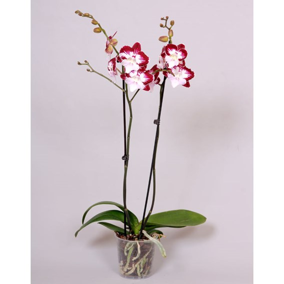 Orchid Phaleonopsis Tinkerbell